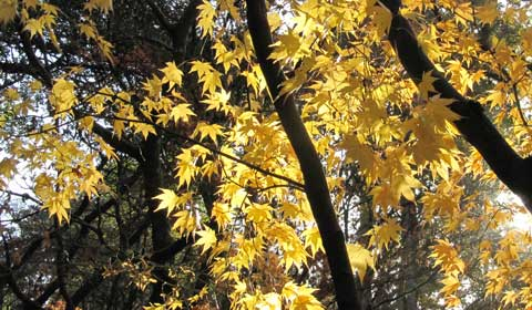 Tree with golden leaves